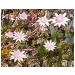 Pink Flannel Flower 25ml
